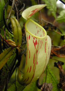 BE3257 Nepenthes glabrata
